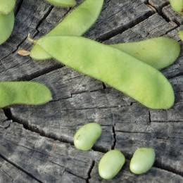 Graines de Edamame Green Shell