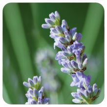 Essentiële olie Fijne Lavendel BOB 5 ml
